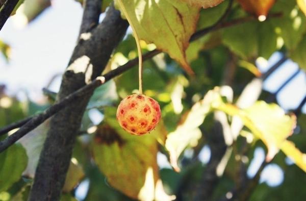 $リノベーションで心豊かな北海道の暮らしを実現したい!-ヤマボウシの果実