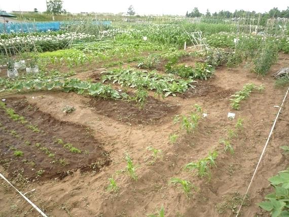 リノベーションで北海道の豊かな暮らし-市民農園の野菜作り、7月上旬
