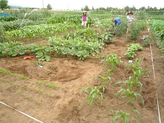 リノベーションで北海道の豊かな暮らし-市民農園の野菜作り、7月中旬