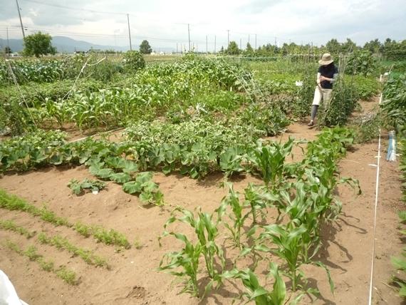 リノベーションで北海道の豊かな暮らし-市民農園の野菜作り、7月下旬
