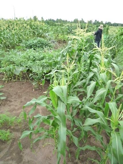 リノベーションで北海道の豊かな暮らし-市民農園の野菜作り、8月中旬