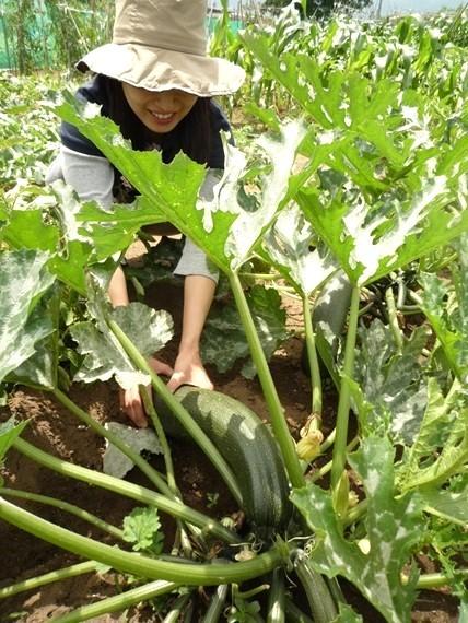 リノベーションで北海道の豊かな暮らし-市民農園の野菜作り、ズッキーニ