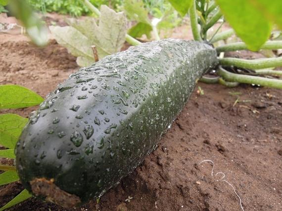 リノベーションで北海道の豊かな暮らし-市民農園、ズッキーニ